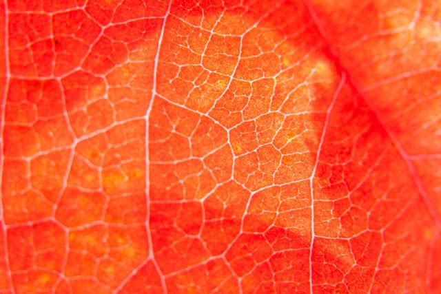 Fotografía macro de la hoja de una enredadera roja