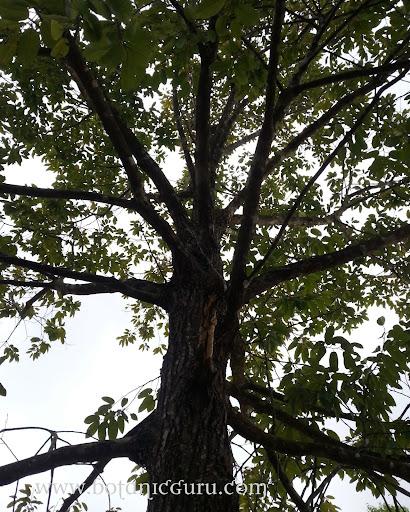 Shorea roxburghii, White Meranti, Sweet Shorea branches