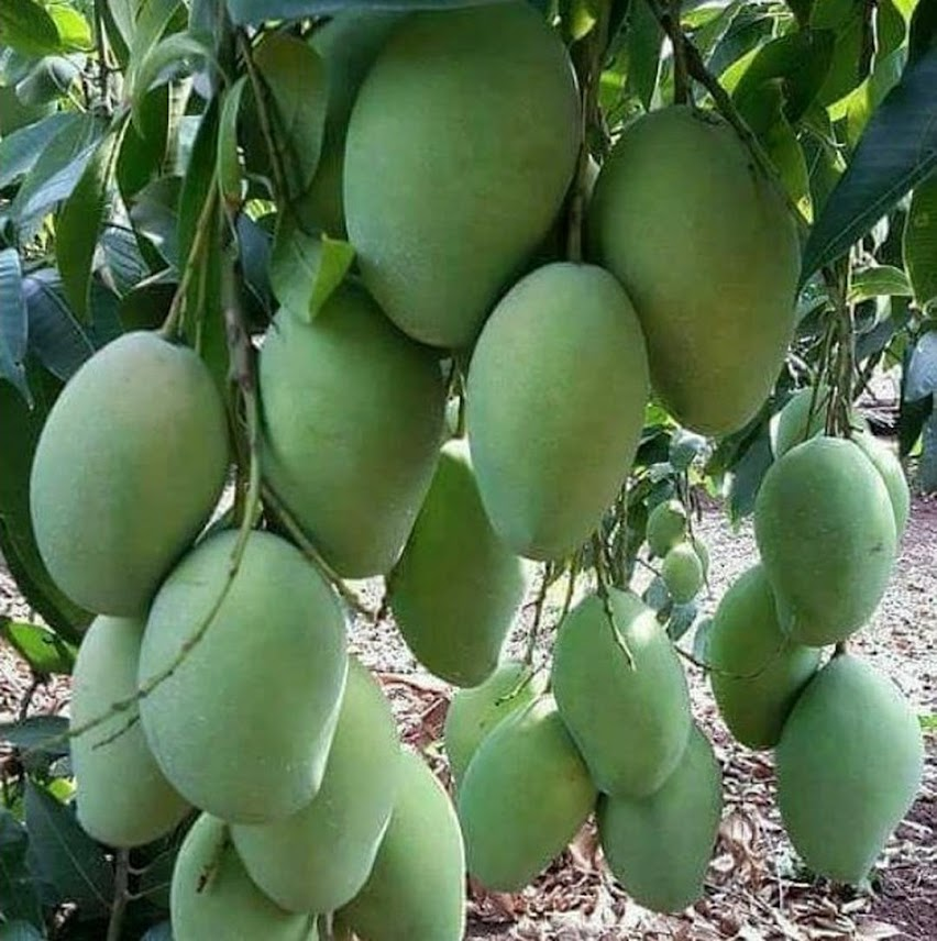 Bibit Mangga Harum Manis 70 cm Bengkulu