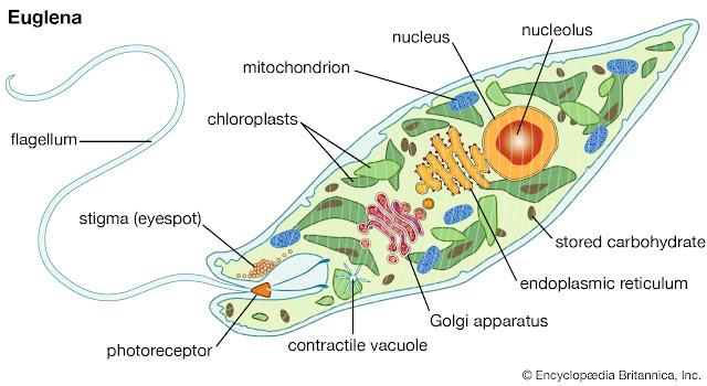 Struktur Euglena sp.