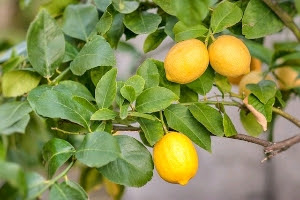 11 Manfaat Lemon Bagi Kulit Wajah dan Tubuh