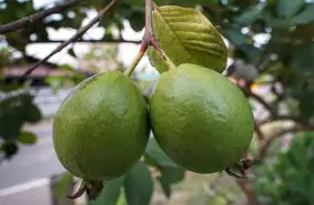 What is guava fruit good for, Health images, health image, live health images, swasth images, fruits images, fruits image, guava images, guava image, pic of guava, pic of anar, pic of, health treatment images,What is the best time to eat guava, What happens if you eat guava everyday, guava livehealth solution, What are the side effects of guava,guava leaves benefits and side effects, guava benefits and side effects, guava benefits for skin, benefits of eating guava empty stomach, guava leaf benefits, benefits of guava for hair, eating guava at night, guava leaves for infection, health tips of the day, health tips eyes, gas acidity ke gharelu upay, gas or acidity ke gharelu upay, gas acidity ka gharelu ilaj, home remedies for acidity back pain, home remedies for acidity and headache, home remedies for acidity and bloating, home remedies for acidity and burning sensation, for acidity home remedy in hindi, home remedies for acidity and stomach burning, home remedies for acidity in babies, home remedies for reducing acidity, home remedies for acidity in neck, home remedies for acidity and chest pain, home remedies, Yoga, yoga benefits , yoga in hindi, yoga se sehat kaise banaye, yoga day , indian yoga, yoga kaise karte hain, health tips, for health tips, health tips kannada, for health tips in hindi, health tips in hindi, health tips hindi, health tips in tamil, health tips telugu, health tips in telugu, health tips Malayalam, for good health tips, health tips English, health tips in English, health tips for men, health tips for women, health tips for eyes, live health solutions, live health app download, livehealth lucid reports, livehealth funding, livehealth pune, health solutions login, live health online reports, badam khane ke fayde for skin, bhige badam khane ke fayde in hindi, akhrot khane ke fayde, rat me badam khane ke fayde, kaju khane ke fayde, sukhe badam khane ke fayde, kaju badam khane ke fayde,