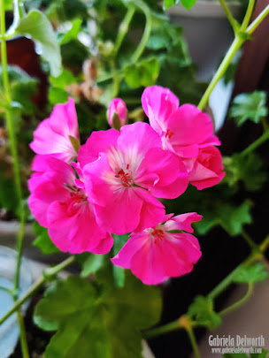 WINTERIZED PINK GERANIUMS FROM 2020