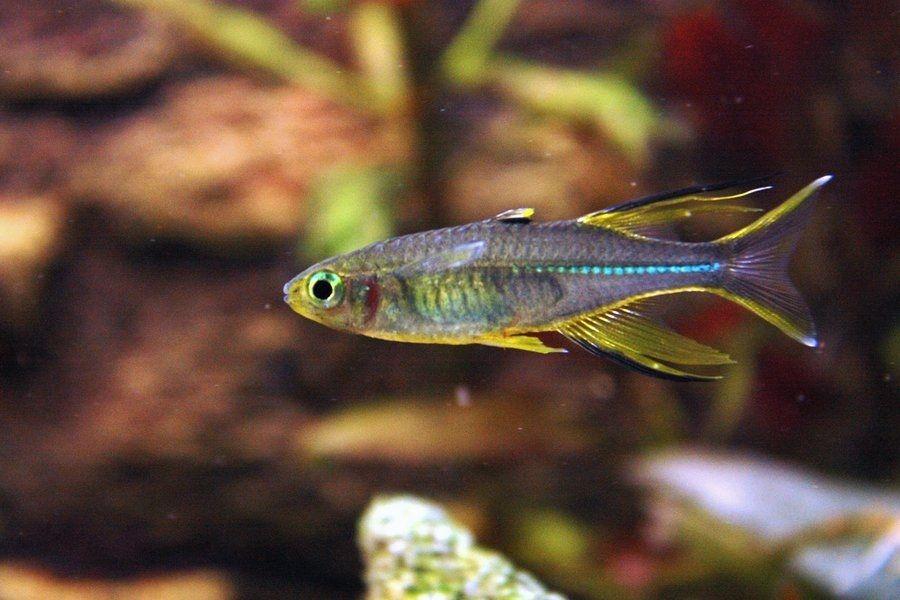 ikan rainbow kurumoi