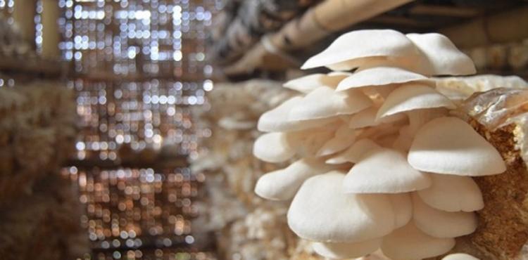 usaha jamur di bengkulu