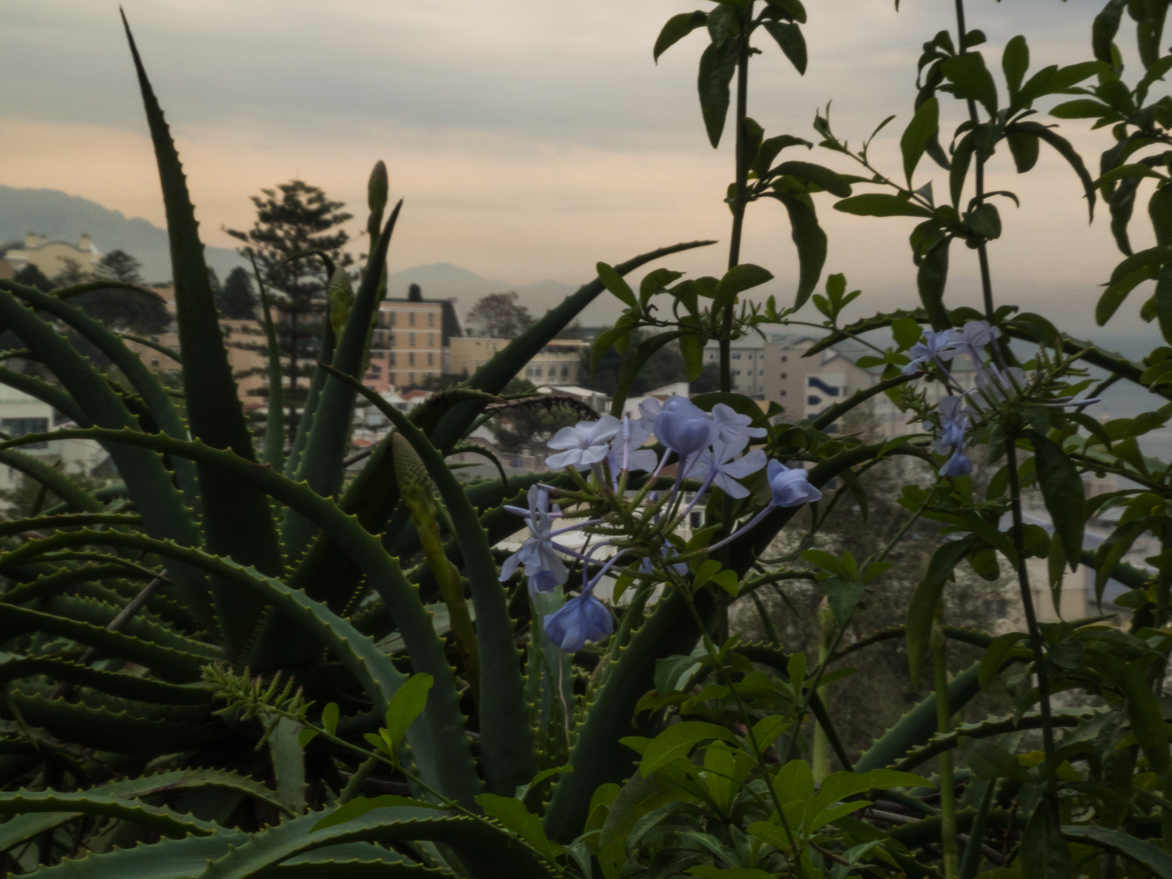 View of light blue flowers and Aloe Vera in Gibraltar