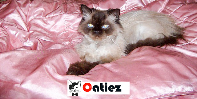 Himalayan Cat - all you want to know about Himalayan Cats