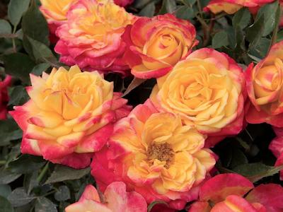 ROSA SPP. Rosaceae   MINIATURE  ROSE pic