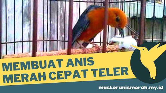 Suara Burung Anis Merah Betina Memanggil Jantan Terbukti Langsung Nyaut Gacor