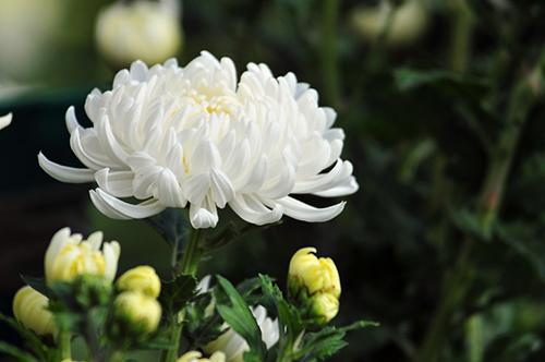hoa cuc trang dam ma
