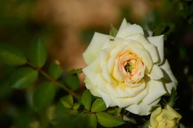 rose, small sunny garden, desert garden, miniature roses, amy myers, photography