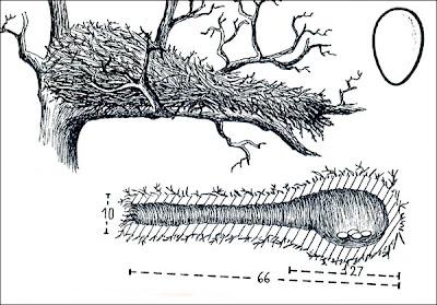 nido de Chotoy Schoeniophylax phryganophila