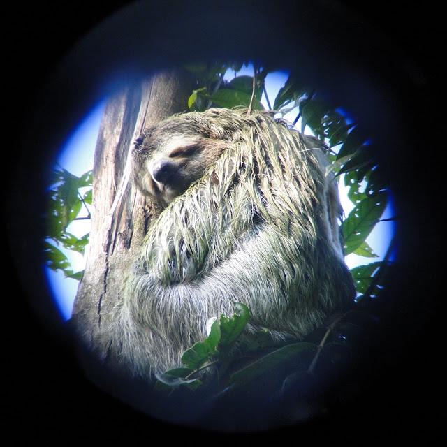 A Three Toed Sloth Seen Through Binoculars