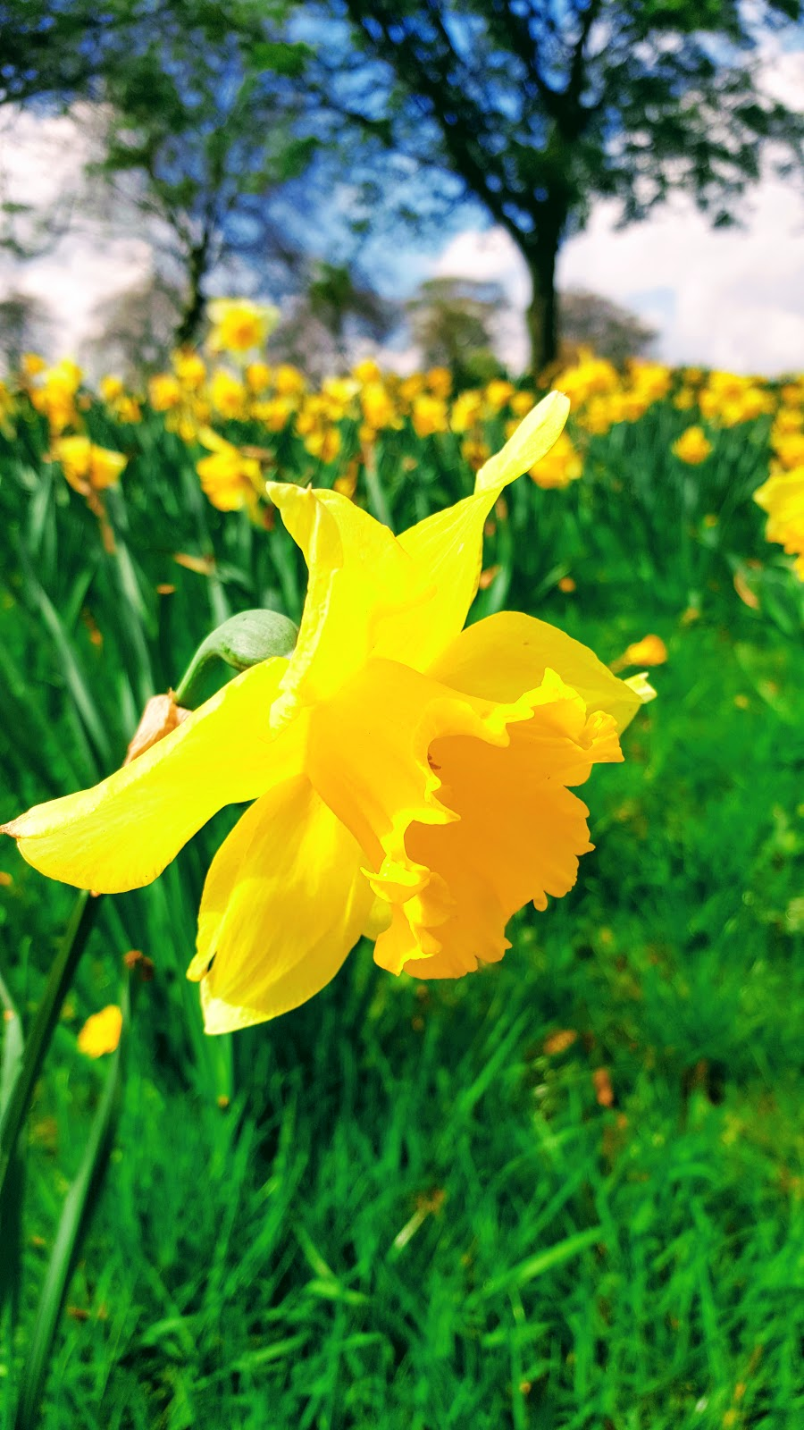 Yellow Daffodil Flower Photo by @clairejustineo