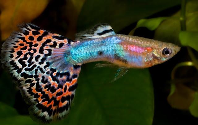 Dunia Ikan Hias - Ikan Hias untuk Aqurium