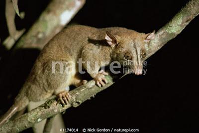 Zarigueya lanuda parda (Caluromys philander)