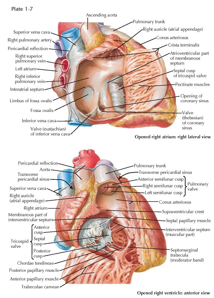 Atria and Ventricles