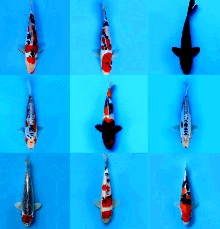 Download 750+ Gambar Dan Harga Jenis Ikan Koi Terbaru