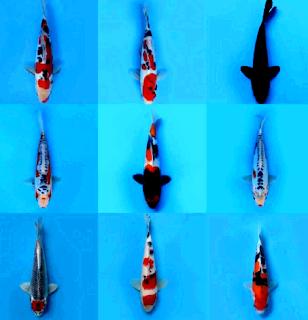 Harga ikan koi blitar indonesia dan jepang