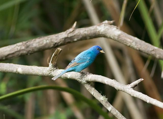 Indigo Bunting - Felts Audubon Preserve, Florida