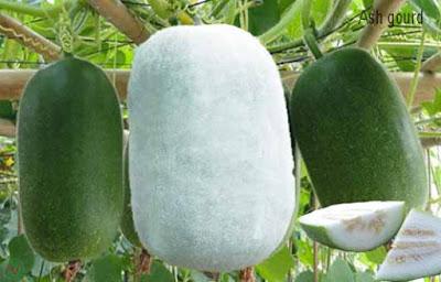 ash gourd; ash gourd vegetable
