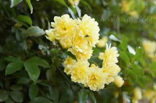 hồng leo mân côi cho hoa màu vàng tươi sáng