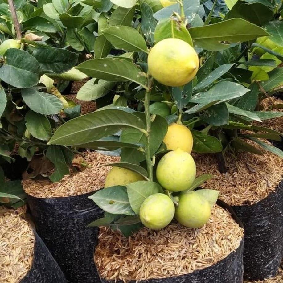 bibit buah jeruk lemon kondisi bebuah Kalimantan Utara