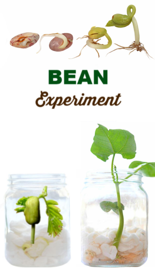 Experiment for kids- grow a magic beanstalk. #beaninabagexperiment #beaninajar #beanexperimentkids #springcraftsforkids #growingajeweledrose #scienceexperimentskids