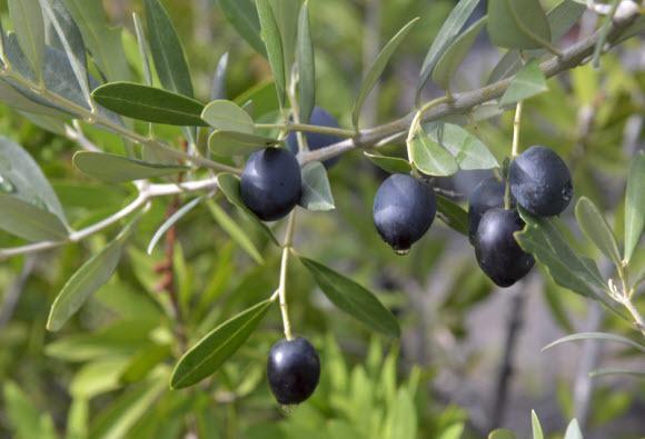 buah zaitun hitam