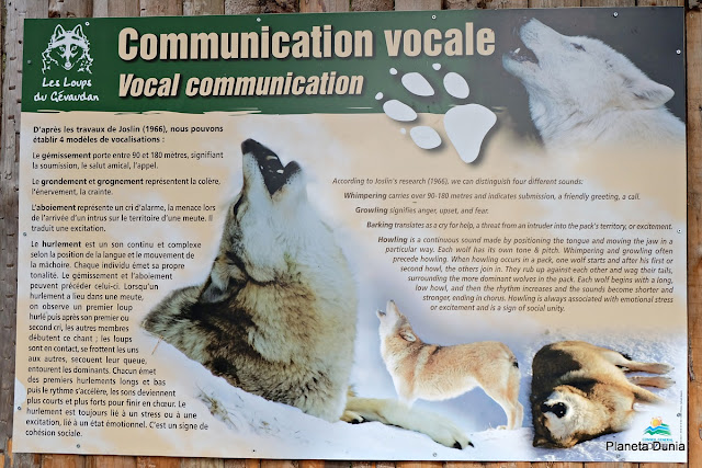 Wolf vocal communication