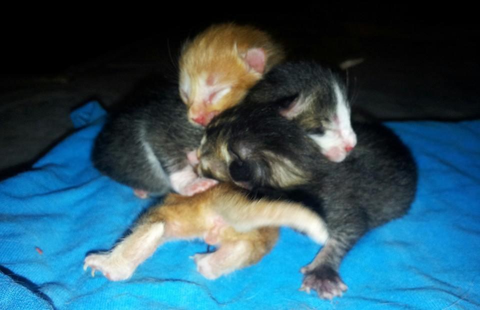 Kucing Utara Ibu Kucing Kurus Selepas Bersalin