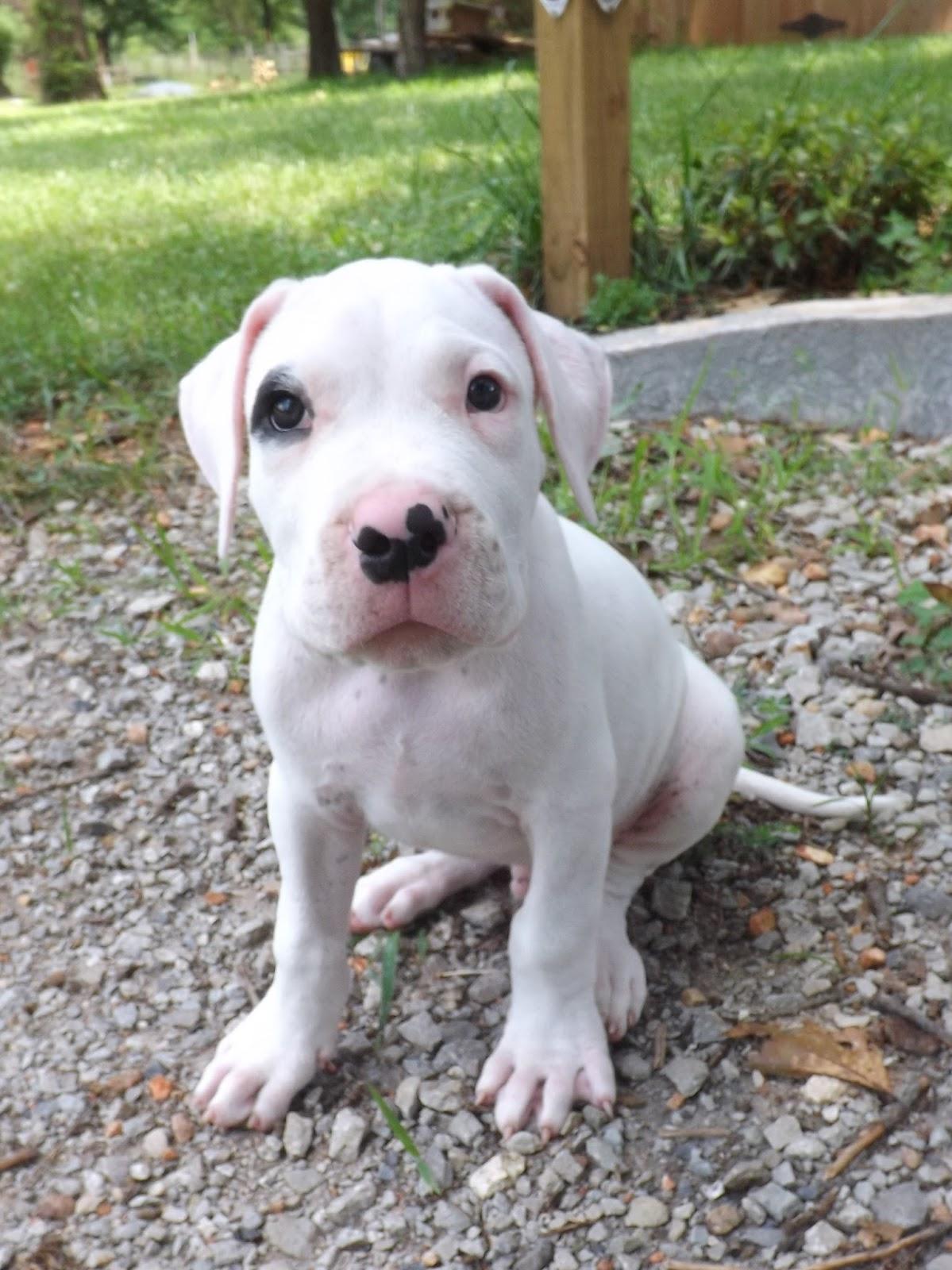 Dogo Argentino Puppy - Goldenacresdogs com