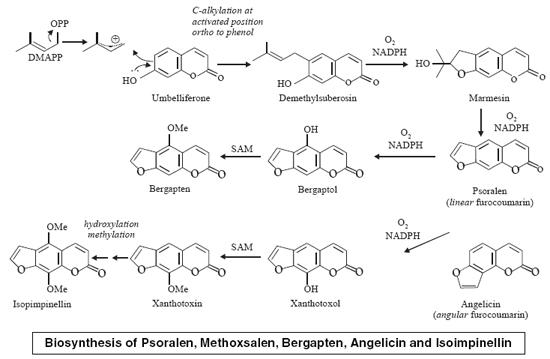 Biosynthesis of Psoralen, Methoxsalen, Bergapten, Angelicin and Isoimpinellin