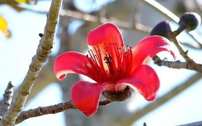 सेमल (शाल्मली) वृक्ष के चमत्कारी फायदे और उपयोग।