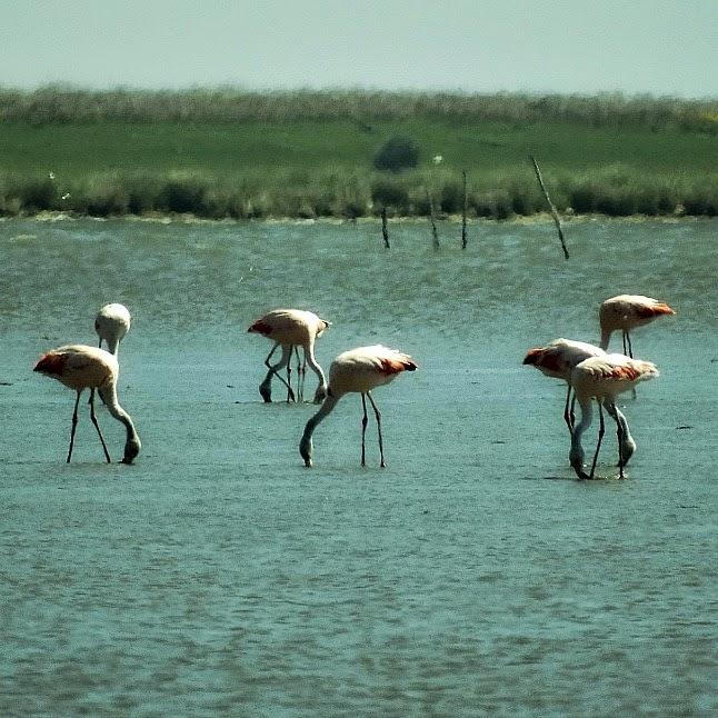 Flamingos na Barra da Lagoa do Peixe - Parque Nacional da Lagoa do Peixe
