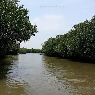 Mangrove Forest, Pichavaram - அலையாத்தி காடுகள், பிச்சாவரம்