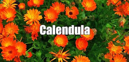 CALENDULA (Calendula officinalis L)   , propiedades, beneficios y usos