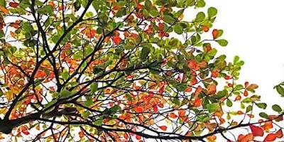 Ketapang merupakan salah satu jenis pohon dengan nama latin Terminalia catappa yang biasanya hidup di daerah pantai. Tumbuhan ini biasanya tersebar dan dapat ditemukan tumbuh di daratan dengan ketinggian 5 - 500 m dpl (Uhaedi sutisna, dkk., 2004). penyebaran pohon ketapang, taksonomi pohon ketapang, pertumbuhan tanaman ketapang, teknik budidaya ketapang, tumbuhan ketapang adalah, tanaman kepang pdf,