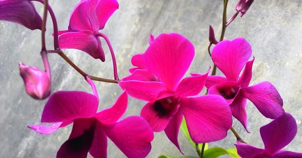 13 Macam Bunga Kertas yang Cocok Untuk Taman di Rumah