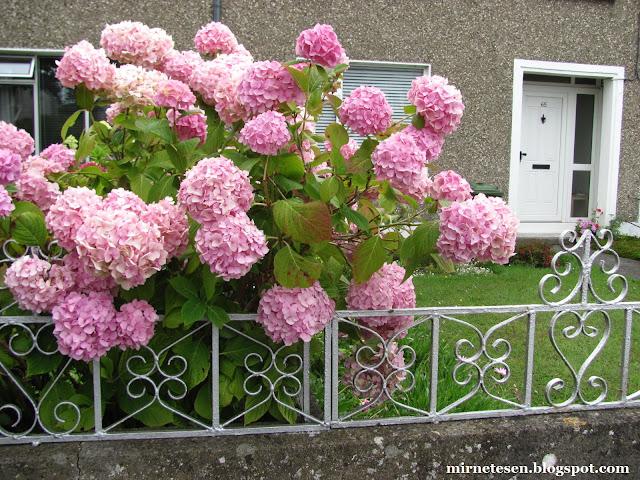 Дублин - розовые гортензии в чьём-то дворе