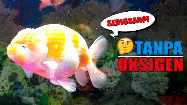 Piara Ikan Mas Koki Tanpa Oksigen? Bagaimana Caranya? Aerator Kali Maksudnya? 🤔