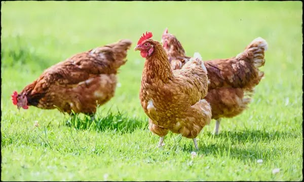 Are Eggs and Chicken Foods Safe? FSSAI stated in the guide - Avoid rumors