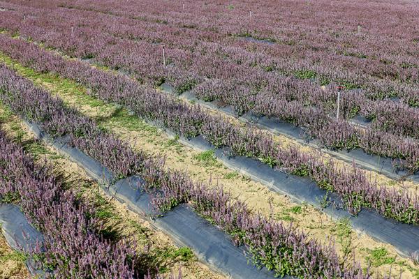 2020桃園仙草花節「微見仙境」紫爆仙草花海超夢幻