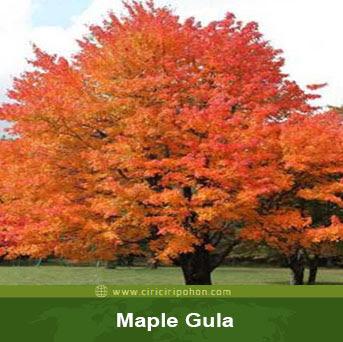 ciri ciri pohon maple gula