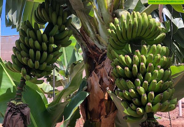 El Gobierno canario abona 70 millones a los productores de plátano con IGP