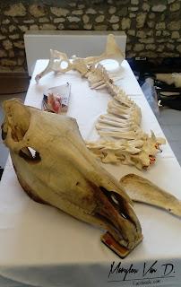 Ossements de chevaux, modèles ostéopathiques.