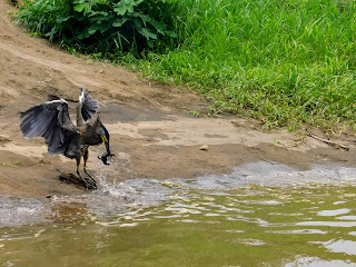 Tiger heron snatching a baby crocodile