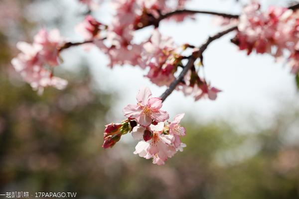 中科崴立機電櫻花公園河津櫻和吉野櫻率先登場,粉紅櫻花步道好美