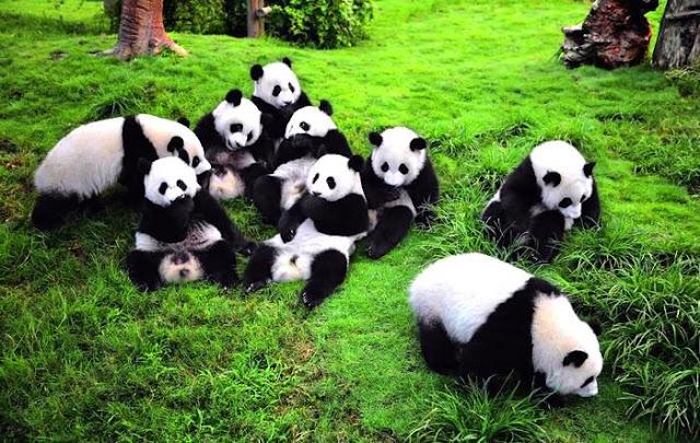 penagkaran panda di china