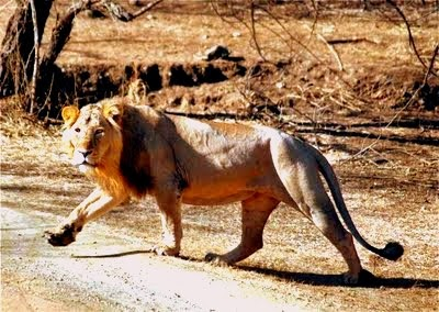 Lion at Sasan, Gir